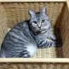 私の猫のイメージを変えた1匹の猫 アメリカンショートヘアーとの出会い